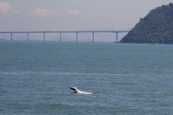 Một con cá heo nhảy lên khỏi mặt nước gần khu vực cầu vượt biển dài nhất thế giới. (