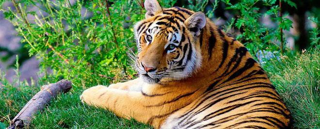 Hổ xuất hiện từ 2 - 3 triệu năm trước.