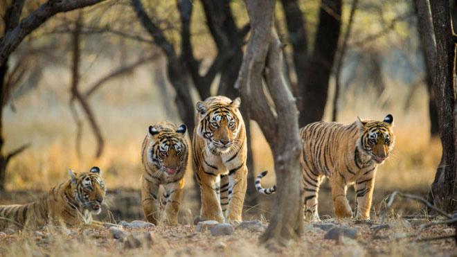 Số lượng hổ còn sót lại trên Trái đất hiện nay là 6 loài.