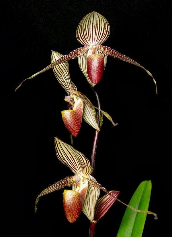 Hiện, lan Gold of Kinabalu orchid chỉ có trong vườn quốc gia Kinabalu ở Sabah nước Malaysia.
