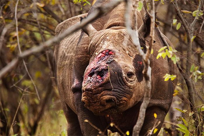 Một con tê giác bị nhân viên thú y tháo sừng sau đó bị nhiễm trùng và chết.