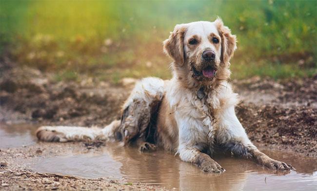 Lông chó ướt thường có mùi hôi