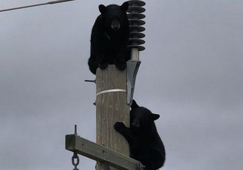 Hai con gấu đen bám trên đỉnh cột điện ở Manitoba, Canada.