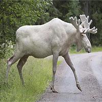 Nai sừng tấm trắng hiếm gặp băng ngang quốc lộ Canada