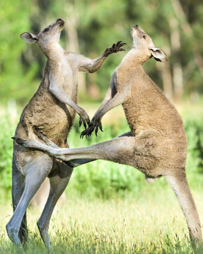 Các trận đấu đường phố ở Úc trông như thế này.