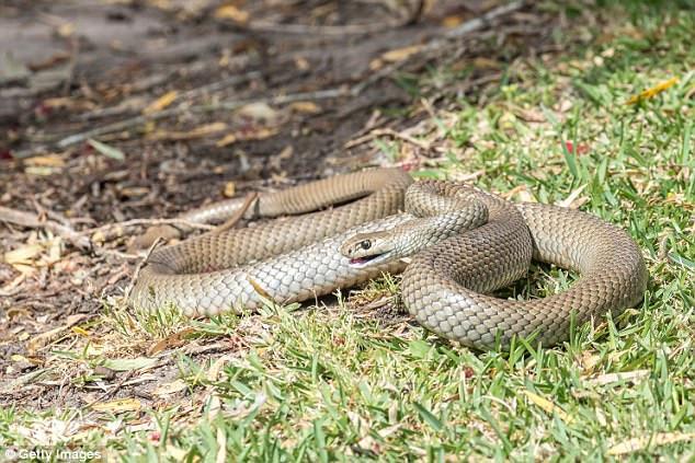 Một con rắn nâu.