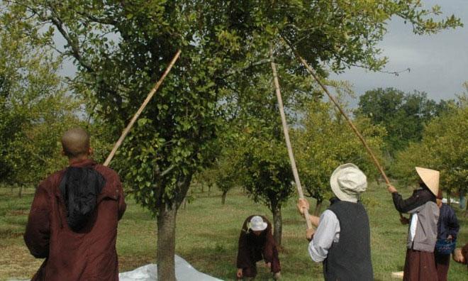 Các tăng thân tại làng Mai hái quả trong vườn.