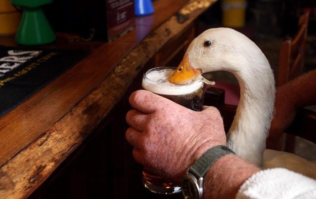 Vịt uống bia