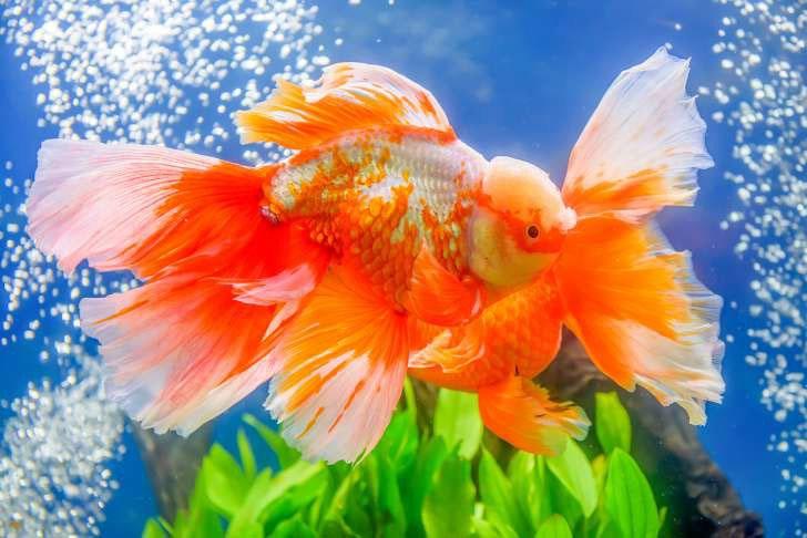 Tuổi thọ của cá vàng có thể lên đến 43 năm
