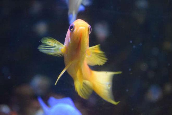 Trung Hoa đời Tống - cá vàng phải đúng là màu vàng