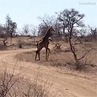 Linh cẩu cắn gãy rời chân hươu cao cổ rồi thẫn thờ vì diễn biến sau đó
