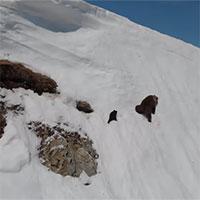 Gấu con leo đỉnh núi tuyết cao vút gây bão mạng