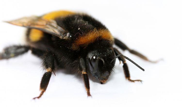 Sau khoảng 10 ngày, ấu trùng Conopid điều khiển con ong vật chủ rơi xuống đất