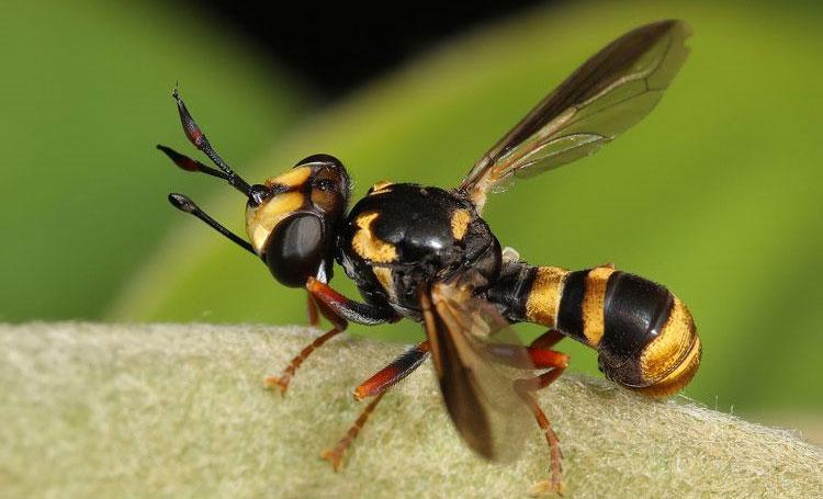 Ong bắp cày