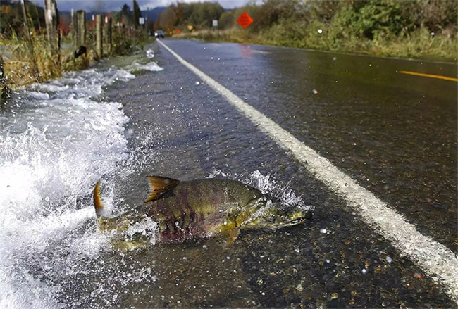 Đàn cá hồi thi nhau băng qua đường.