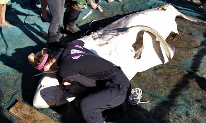 Việc cá voi sát thủ đi săn cá mập không phải là hiếm.