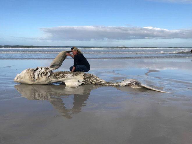 Xác một con cá mập trắng chết rục xương dạt vào bờ.