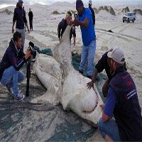 Cá mập trắng bị săn đuổi chết rục hàng loạt, thủ phạm lần này không phải con người
