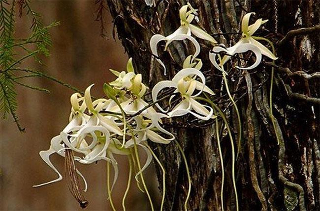 Loài hoa này chỉ được trồng ở một vài khu vực có môi trường thích hợp cho sự phát triển của chúng.