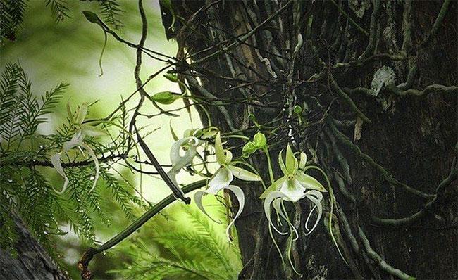 Loài hoa này cũng tỏa ra thứ mùi giống như xà phòng trong suốt thời kỳ nở bông.