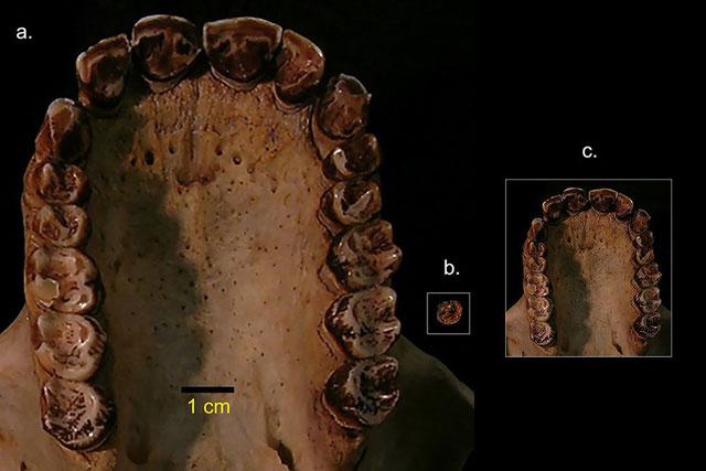 Bộ hàm của loài vượn Simiolus minutus mới được phát hiện tại Kenya.