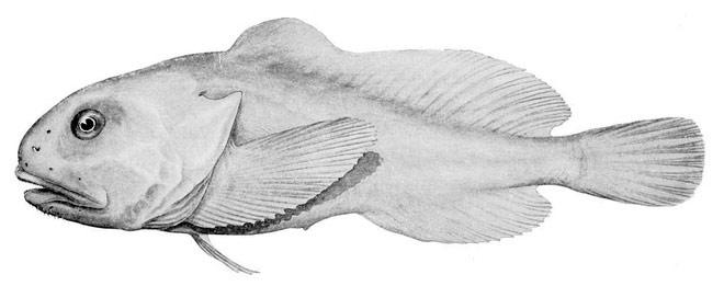Đây chính là Blobfish khi ở dưới biển sâu