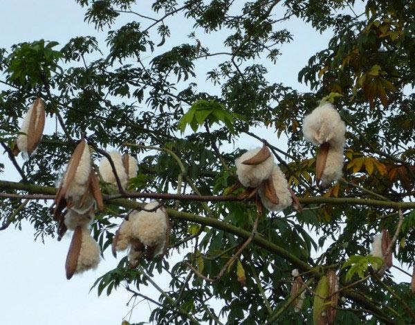Cây bông gòn có tên khoa học là Ceiba pentandra