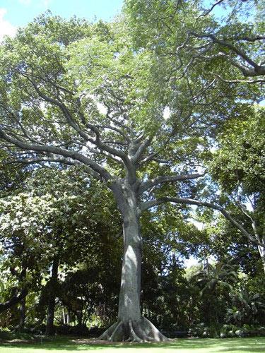 Quả của cây bông gòn dài khoảng 15cm