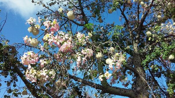 Trong thần thoại Maya, cây bông gòn là loại cây linh thiêng