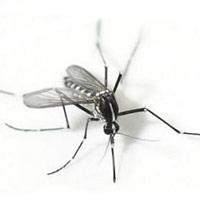 240 con muỗi bị nén chặt trong ống xy lanh vẫn không chết, chờ ngày phát tán sự huỷ diệt cho giống loài