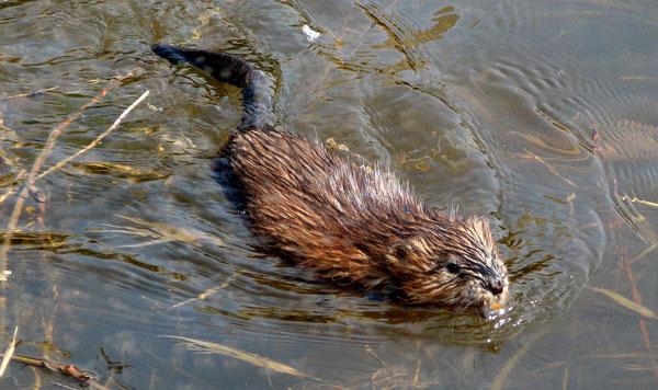 Chuột xạ hương chủ yếu sống dưới nước.