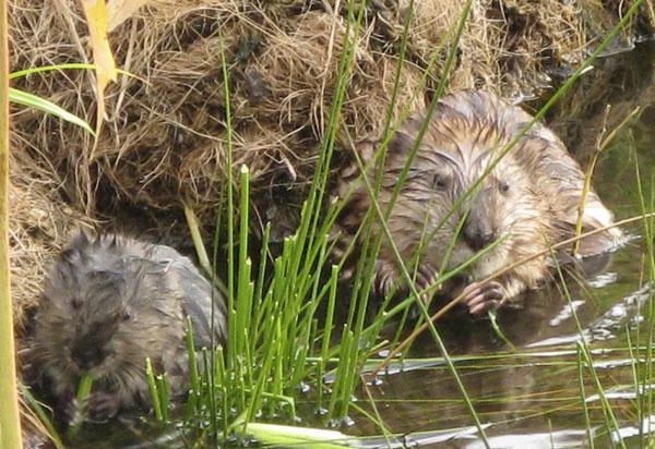 Đến mùa sinh sản, chuột xạ hương trở nên hung dữ và khó tính hơn.