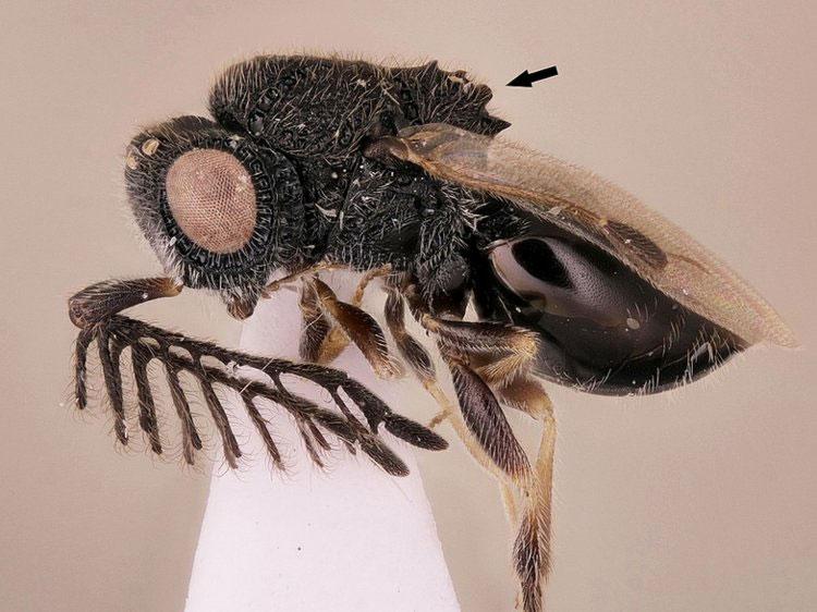 Dendrocerus scutellaris.