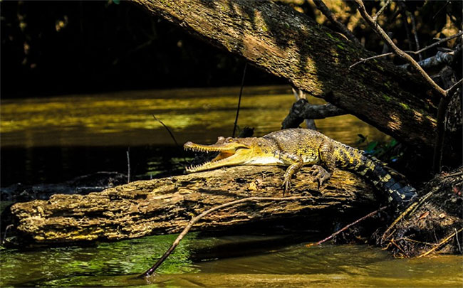 Cá sấu thân nhỏ Trung Phi.