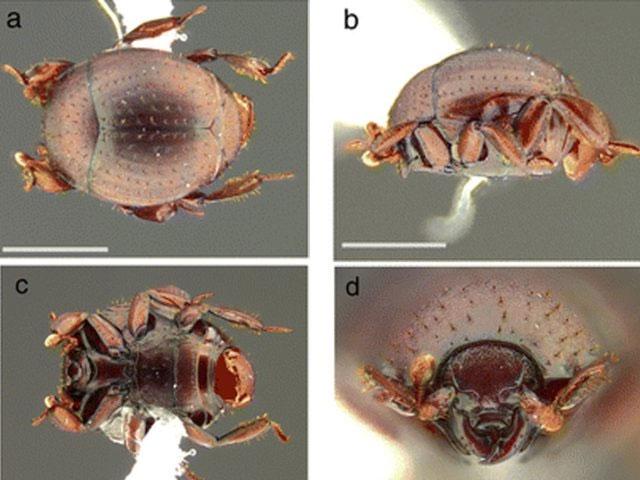 Loài bọ cánh cứng Nymphister kronaueri.