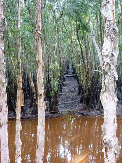 Với sáng kiến dùng vỏ tràm hút dầu loang, cây tràm ở miền Tây Nam bộ sẽ được tận dụng nhiều hơn.