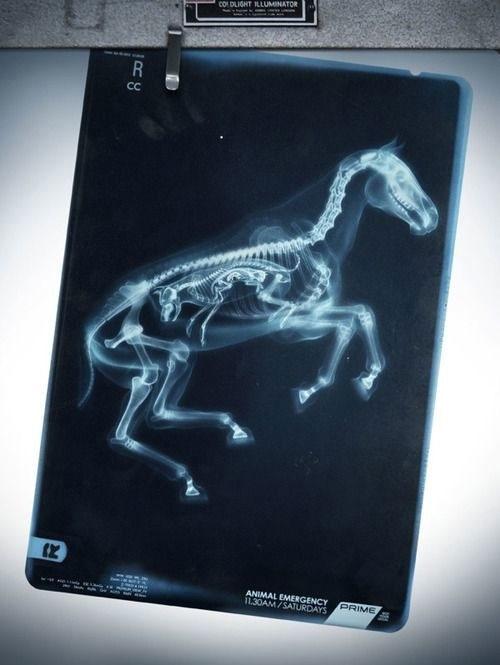 Hình ảnh mang thai của ngựa.
