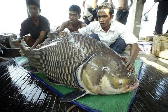 Ở Campuchia, các dữ liệu khai thác cho thấy, năm 1964 đánh bắt được 200 tấn chép Xiêm, thì đến năm 1980, chỉ có khoảng 50 con cá Xiêm khổng lồ bị bắt