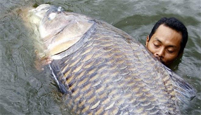 Nó là một loài di chuyển chậm chủ yếu ăn các loại rau như trái cây và các loại tảo.