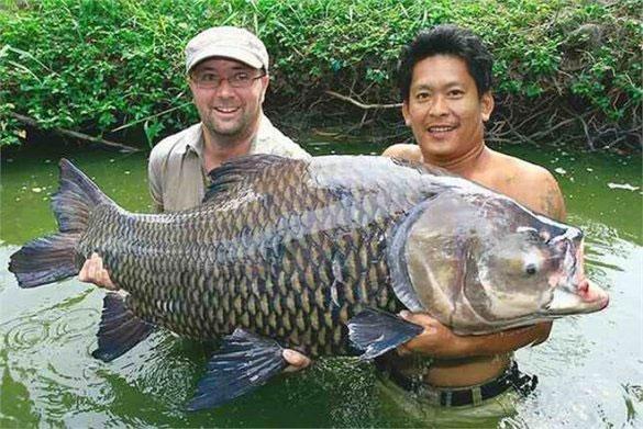 Chúng có mặt ở sông Mê Kông và lưu vực sông Chao Phraya ở Đông Dương