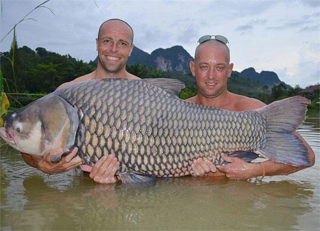 Trong lịch sử đã từng có ghi chép đánh bắt được cá chép Xiêm có chiều dài cơ thể đến 3m, nặng tới 300kg.