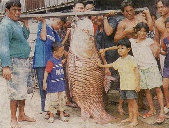 Sông Mê Kông có nhiều loài cá khổng lồ, nặng hàng tạ, gồm cá chép Xiêm