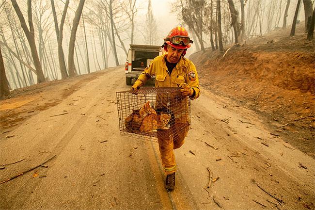 Ngoài cư dân, lực lượng cứu hỏa cũng giúp sơ tán động vật nuôi.