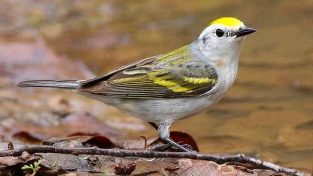 Chim chích lai mang gene di chuyền của ba loài.