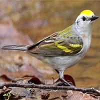 Chim chích cực hiếm là con lai giữa ba loài ở Mỹ