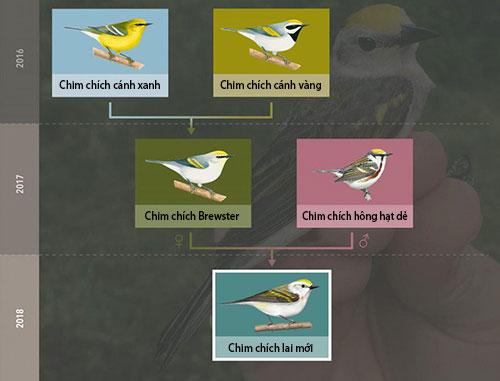 Sơ đồ phả hệ của loài chim chích lai mới.