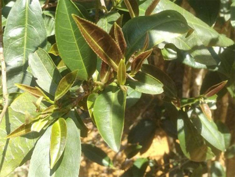 Cây hongyacha thuộc chi trà Camellia như cây chè