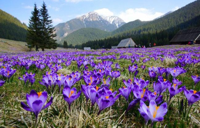Mỗi cây nghệ tây chỉ vỏn vẹn cho ra 4 hoa, mỗi bông hoa có 3 nhuỵ.