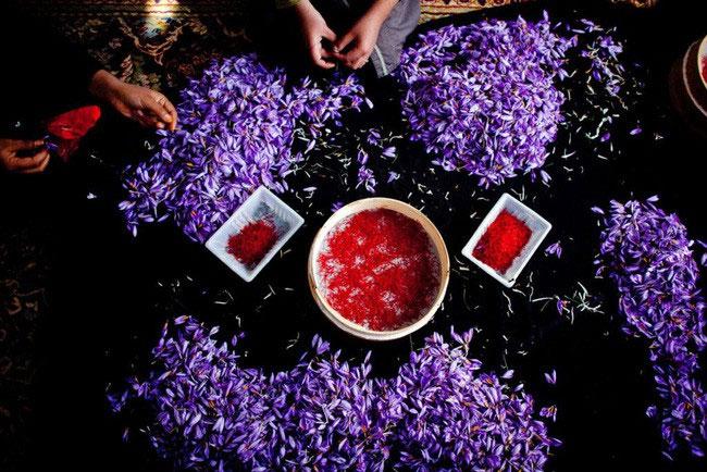 Thu hoạch và phân loại saffron.