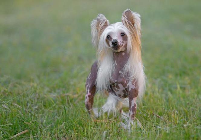 Đây là giống chó thanh lịch và quyến rũ.